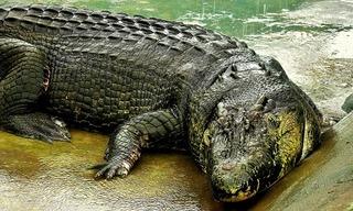 Cá sấu khổng lồ