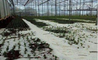 Làng hoa Đà Lạt tan hoang, tơi tả sau trận mưa đá giữa trời nắng nóng
