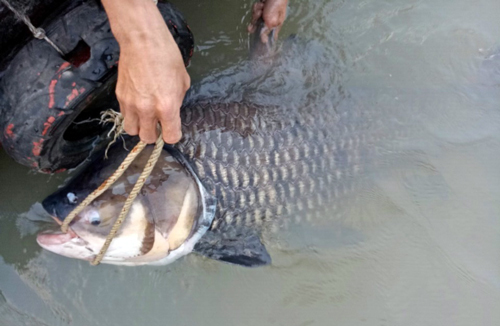 Bắt được cá hô khủng 1