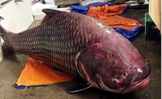 Nghe ngư dân Sài thành khoe chuyện đánh vật với cá hô khủng nặng 60kg, dài cả mét