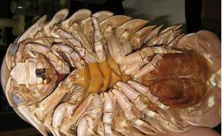 Bọ biển khổng lồ 4 triệu/con: Món nhậu đặc sản dân nhà giàu Hà thành