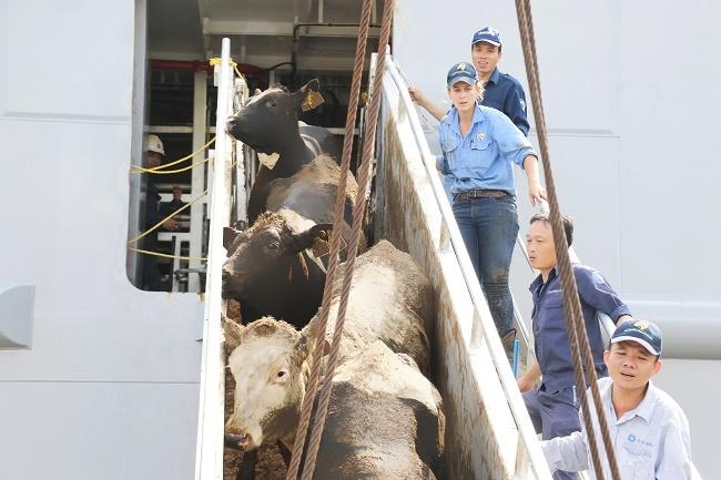 Các chuyên gia của Vinamilk và đối tác nước ngoài cùng phối hợp vận chuyển đàn bò từ Mỹ về Việt Nam