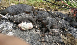 Sét đánh chết cả đàn trâu khiến 1 hộ dân thiệt hại cả trăm triệu đồng
