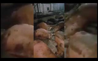 Bất thường 17 con bò ăn xong, bụng trương phình rồi lăn ra chết