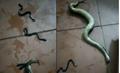 Bị đánh dập đầu, rắn mẹ vẫn cố bò vào nhà đẻ cả chục con trước khi chết