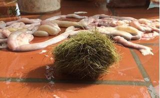 Mổ lợn nái nuôi hơn 10 năm, gia đình ngỡ nàng phát hiện cát lợn quý hiếm