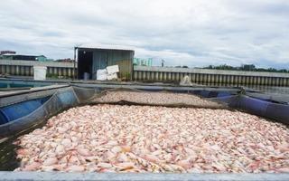 Chỉ sau 1 đêm, 50 tấn cá đã chết trắng bè
