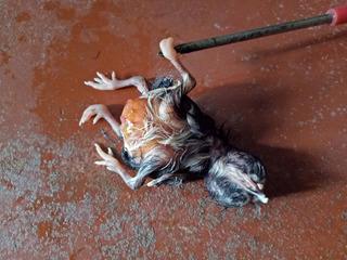 Đổ xô đi xem chú gà bí ẩn có 4 chân 2 đầu ở Sóc Trăng