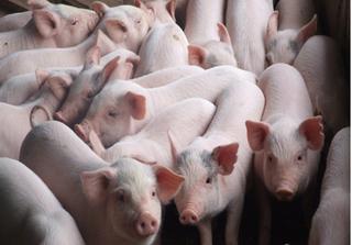 Giá lợn ngày 15/8: Lợn hơi tăng nhẹ, lợn giống lên tới 1 triệu đồng/con