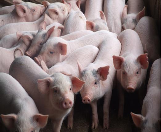 giá lợn giống tăng đột biến nhất là ở các tỉnh phía Nam