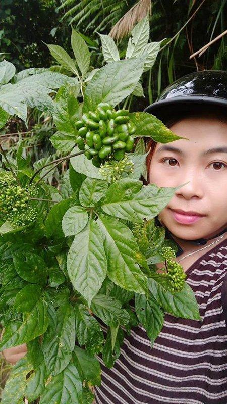 hạt sâm Ngọc Linh