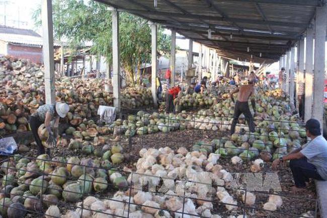 giá dừa khô Bến Tre tăng