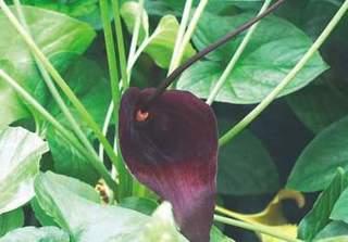 Dùng cây thuốc chỗ nào cũng mọc này, đảm bảo hết khổ sở vì ho đờm, hen suyễn trong mùa thu đông