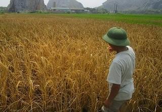 Hải Phòng: Truy tìm thủ phạm phun thuốc diệt cỏ khiến 10 sào lúa cháy rụi