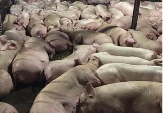 TP. HCM: Gần 4.000 con heo bị tiêm thuốc an thần trước khi giết mổ