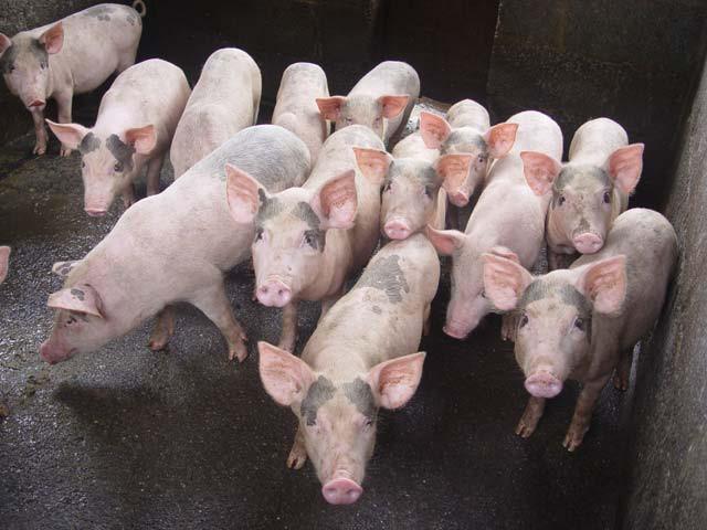 Giá heo hơi hôm nay, giá lợn hơi xuất chuồng