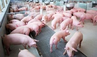 Cập nhật giá lợn hơi mới nhất 12/10: Giá lợn hơi giảm ở miền Bắc và miền Trung