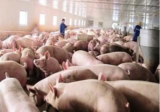 Cập nhật giá lợn hơi mới nhất 13/10: Tăng tại một số địa phương do ảnh hưởng mưa lũ