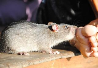 Bị chuột cắn, người đàn ông ở Hưng Yên nhập viện khẩn cấp