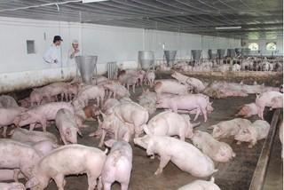 Cập nhật giá lợn hơi mới nhất 14/10: lại phát hiện lợn tiêm thuốc an thần, giá lợn hơi đi biên tăng nhẹ