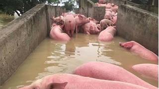 Nan giải tiêu hủy gần 6.000 con lợn chết trong mưa lũ ở Thanh Hóa