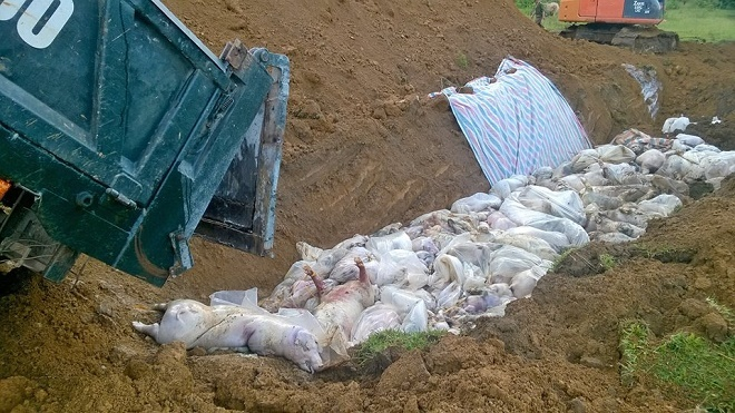 Lợn chết đuối ở Thanh Hóa trong mưa lũ được chôn lấp