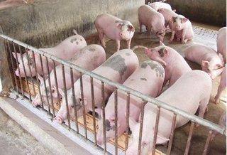 Cập nhật giá lợn hơi mới nhất ngày (19/10): Tăng nhẹ sau mưa lũ