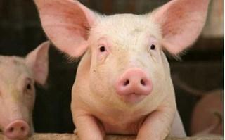 Cập nhật giá lợn hơi mới nhất 21/10:  Miền Bắc thấp nhất cả nước