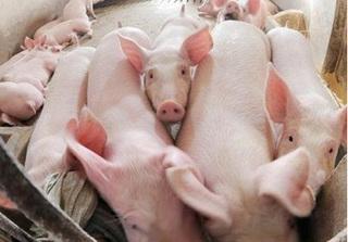 Cập nhật giá lợn hơi mới nhất 22/10: Thị trường tăng nhẹ sau mưa lũ