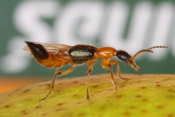 Loài kiến ba khoang rất nguy hiểm cho con người