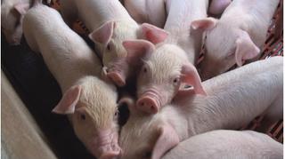 Giá heo hơi hôm nay 24/10: Giá lợn hơi mới nhất ở Đồng Nai giảm