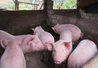 Giá heo hơi hôm nay 25/10: Giá lợn hơi mới nhất ở miền Bắc lên tới 32.000 đ/kg