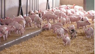 Giá heo hơi hôm nay 26/10: Giá lợn hơi mới nhất giảm kỷ lục ở Đồng Nai
