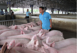 Giá heo hơi hôm nay 29/10: Giá lợn hơi mới nhất ở 3 miền chênh lệch