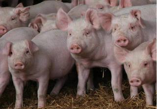 Giá heo hơi hôm nay 30/10: Giá lợn hơi mới nhất tăng cao ở Hà Nội