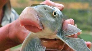 Những loài cá có đôi môi trề dày nhất thế giới