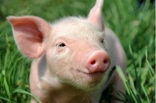 Giá heo hơi hôm nay 31/10: Giá lợn hơi mới nhất ở miền Bắc tăng nhẹ
