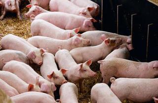 Giá heo hơi hôm nay 1/11: Giá lợn hơi mới nhất tăng nhẹ ở 3 miền