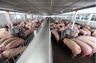 Giá heo hơi hôm nay 2/11: Giá lợn hơi mới nhất tăng cao lên 32.500 đồng/kg