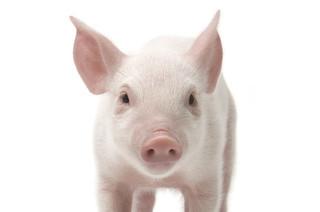Giá heo hơi hôm nay 6/11: Giá lợn hơi mới nhất tăng do bão số 12