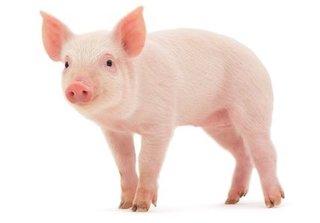 Giá heo hơi hôm nay 7/11: Giá lợn hơi mới nhất ở miền Trung dự báo tăng