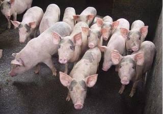Giá heo (lợn) hơi hôm nay 8/11: Giá heo hơi mới nhất giảm nhẹ ở 3 miền