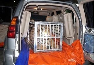 Dùng xe Lexus chở hổ sống từ Nghệ An ra Hà Nội tiêu thụ