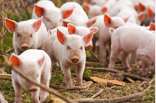 Giá heo hơi hôm nay 9/11: Giá lợn hơi mới nhất ở Bình Dương giảm