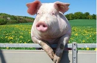 Giá heo hơi hôm nay 10/11: Giá heo (lợn) hơi mới nhất ổn định 30.000 đồng/kg
