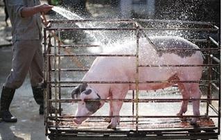 Dự báo giá heo hơi hôm nay 11/11: Giá lợn hơi mới nhất 31.000 đồng/kg