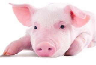 Giá heo hơi hôm nay 14/11: Giá lợn hơi mới nhất giảm nhẹ, dạo động từ 27.000 - 29.000đ