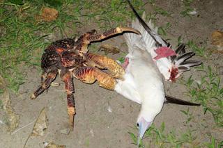 Cận cảnh màn săn mồi kinh dị của loài cua dừa khổng lồ, giết chim trong nháy mắt