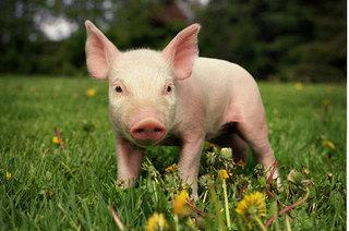 Giá heo hơi hôm nay 15/11: Giá lợn hơi mới nhất từ 26.000 đồng - 30.000 đồng/kg