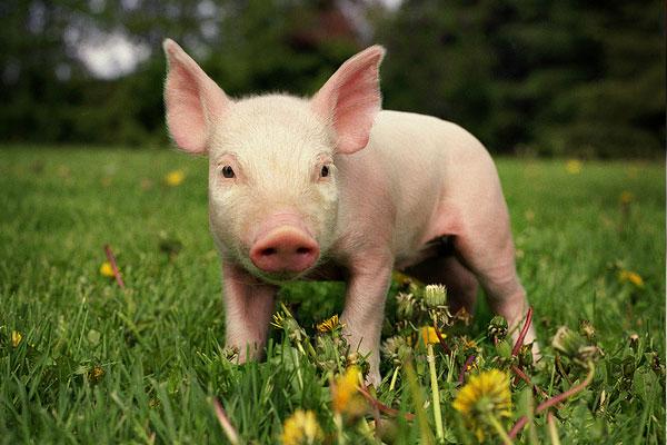 Giá heo hơi hôm nay 15/11: Giá lợn hơi mới nhất tăng ở miền Trung